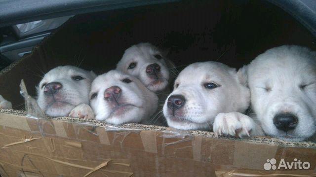 Собаки и щенки в уфе