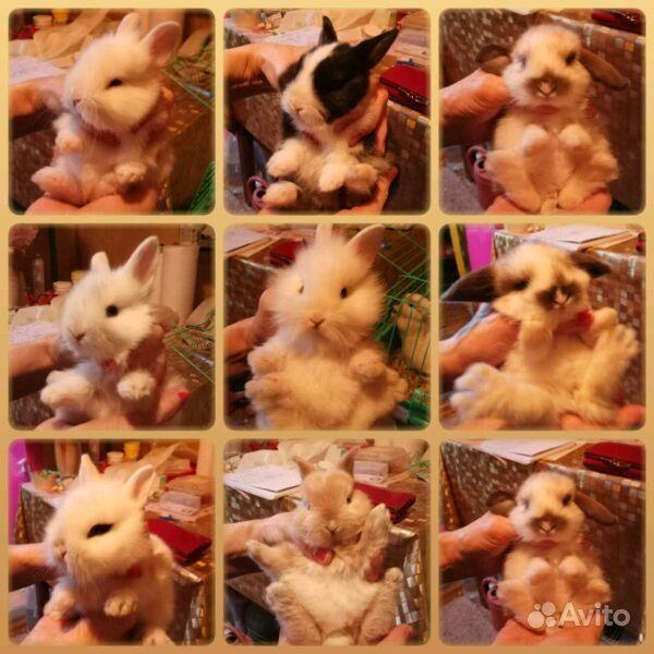 Карликовые декоративные кролики от заводчика в Москве - фотография № 10