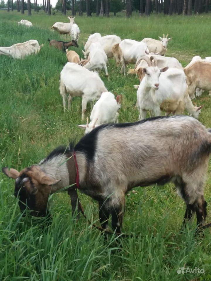 Козлята молодые и козы дойные порода зааненские