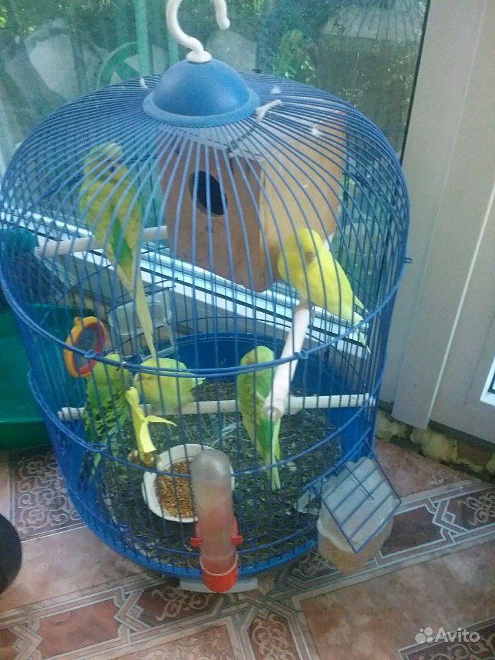 Птенцы попугайчики
