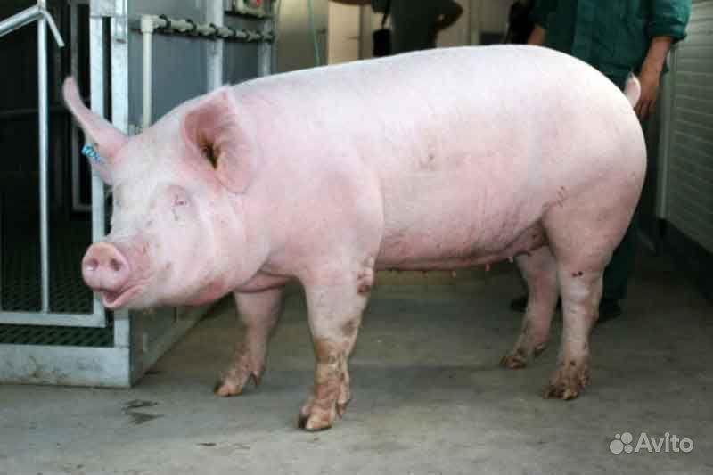 Сдам свинью живым весом