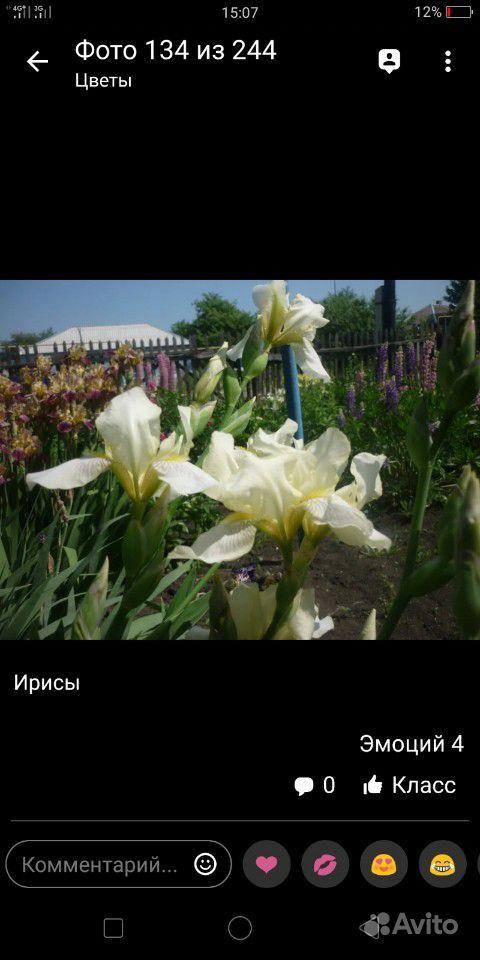 Ирисы купить на Зозу.ру - фотография № 3