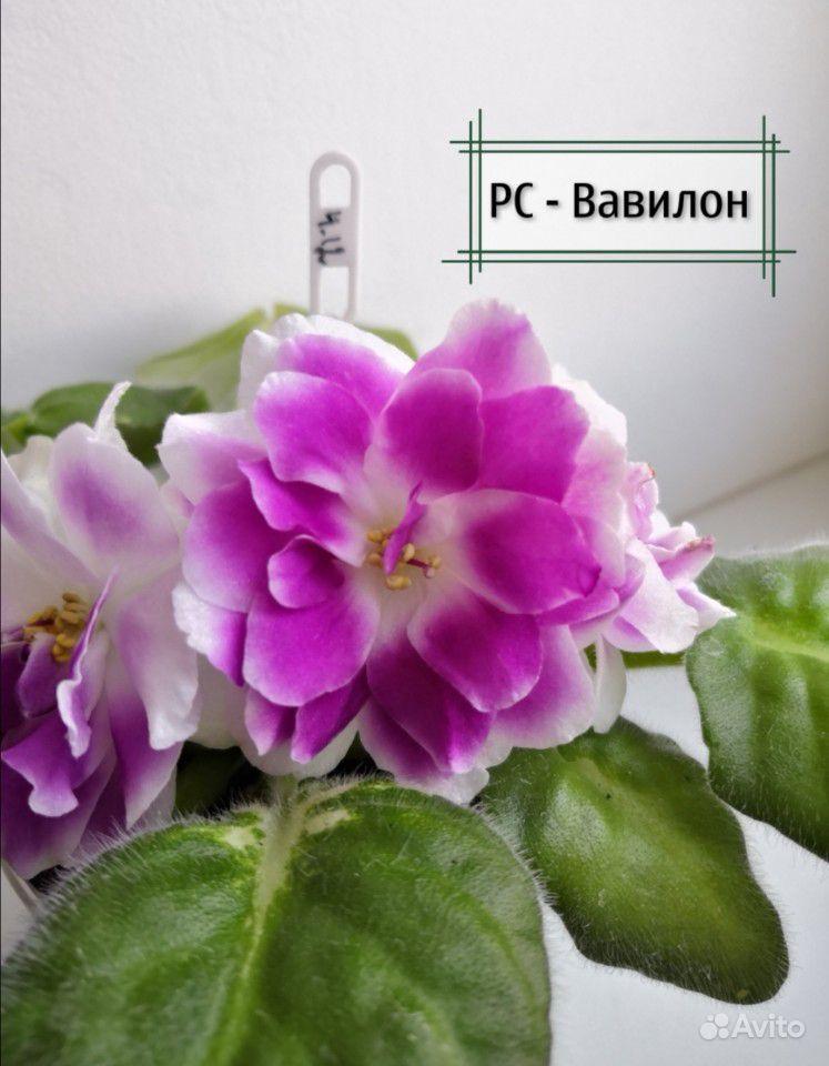Фиалки детки купить на Зозу.ру - фотография № 2