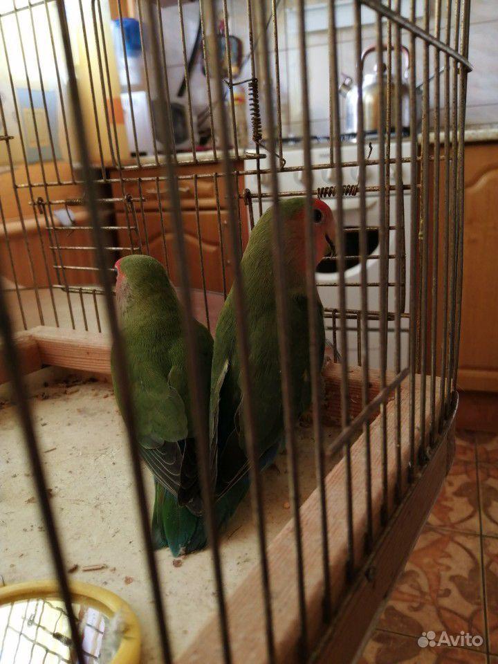 Попугаи неразлучники купить на Зозу.ру - фотография № 6
