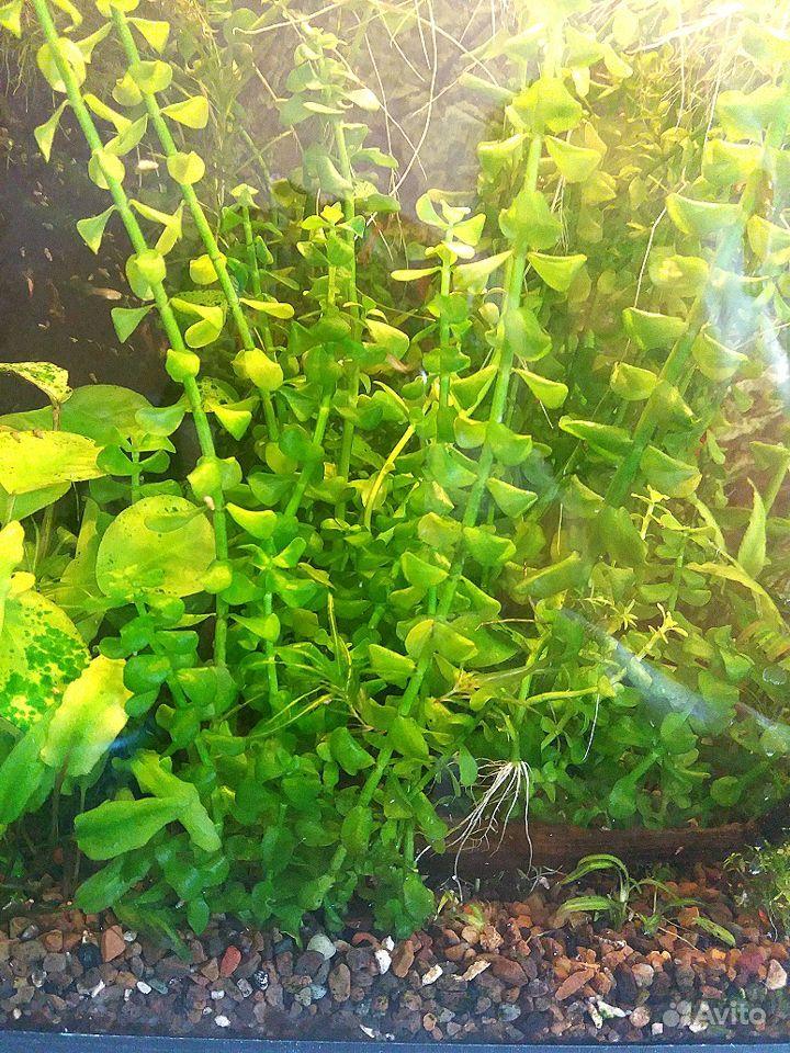 Аквариумные растения купить на Зозу.ру - фотография № 2