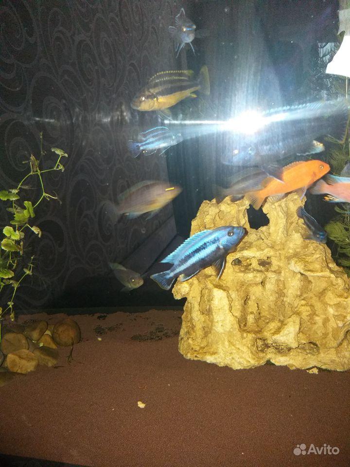 Малавийские цихлиды купить на Зозу.ру - фотография № 4