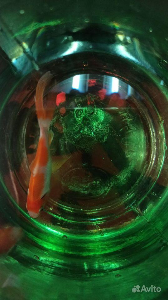 Золотая рыбка (Комета ) купить на Зозу.ру - фотография № 4