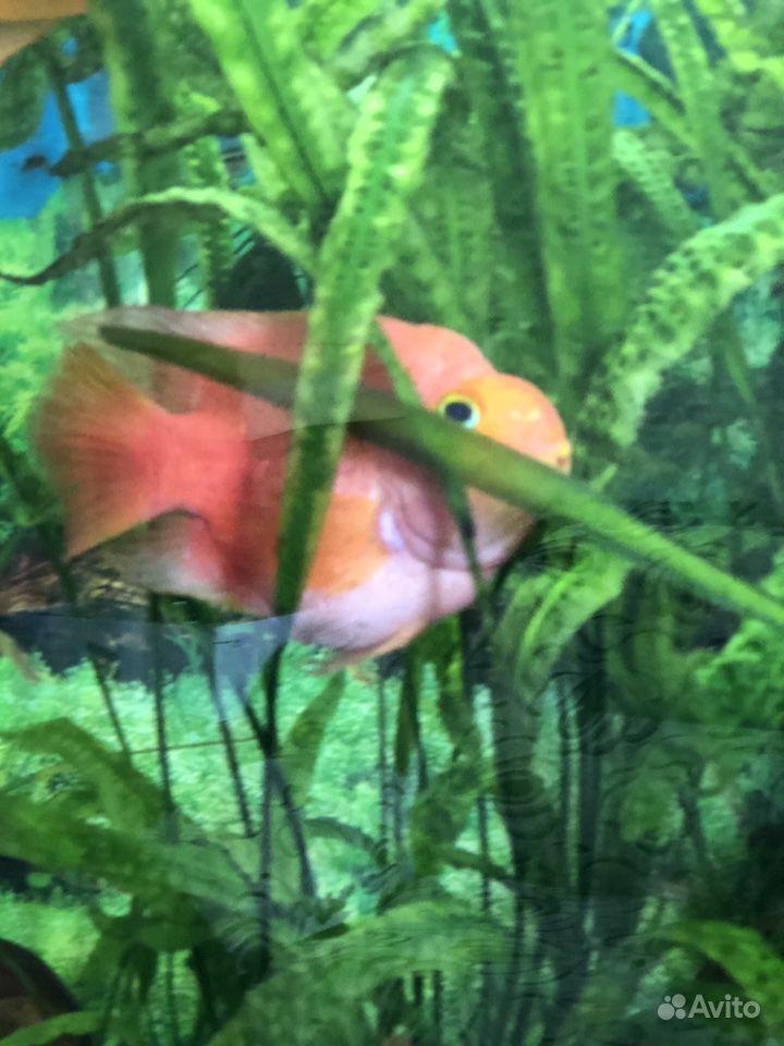 Рыба попугай купить на Зозу.ру - фотография № 8
