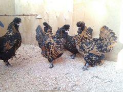 Куры,петухи,цыплята,яйцо,перепелки,индюки, индюшки