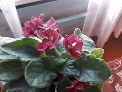 Фиалка,цветущая за130 р