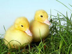 Выращивание утят, цыплят