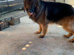 Животные собаки немецкий кобель
