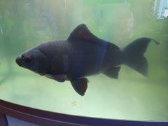 Золотая рыбка (чёрного окраса)