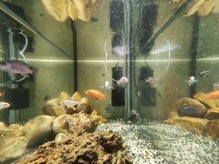 Рыбки аквариумные (Цихлиды)