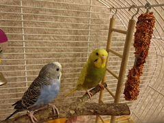 Два волнистых попугая вместе с клеткой