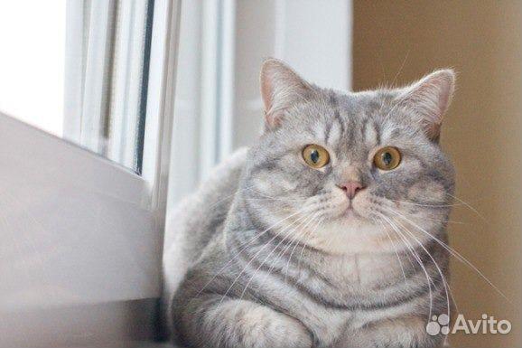 шотландский кот прямоухий фото