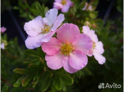 курильский чай розовый фото