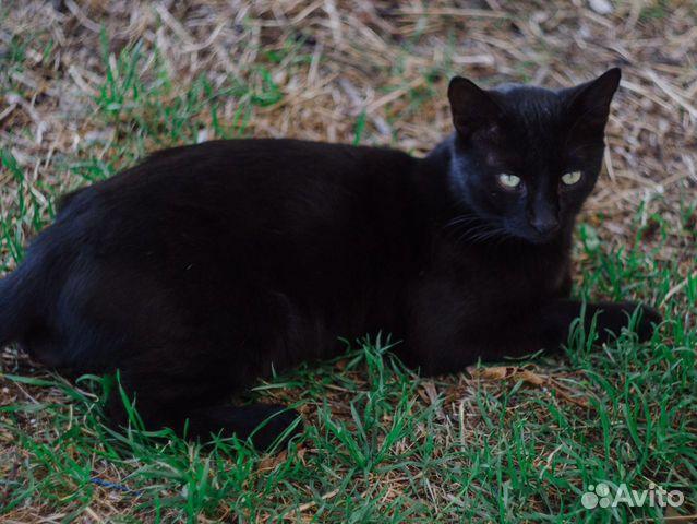Шикарный черный кот  89815532729 купить 2
