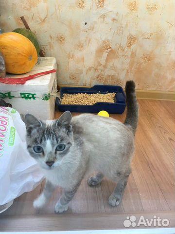Кошечка тайская