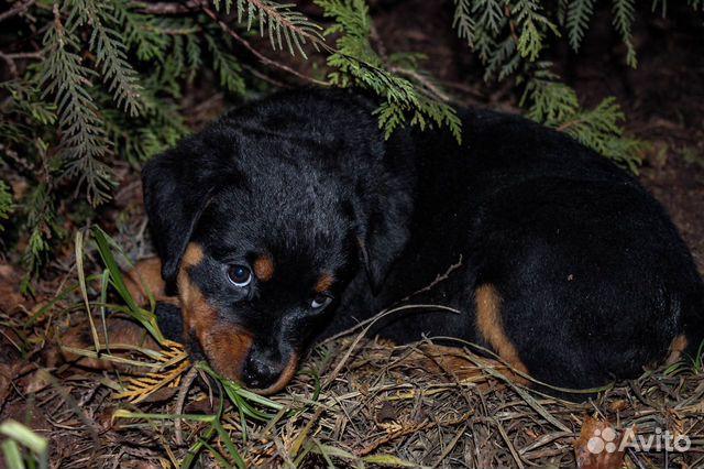 Ротвейлер щенки 14.10.19 3 девочки, 4 мальчика купить на Зозу.ру - фотография № 4