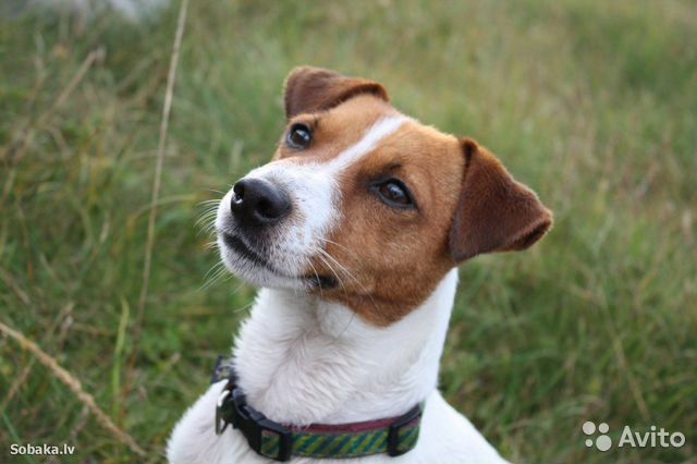 Собака породы Рассел Терьер купить на Зозу.ру - фотография № 1