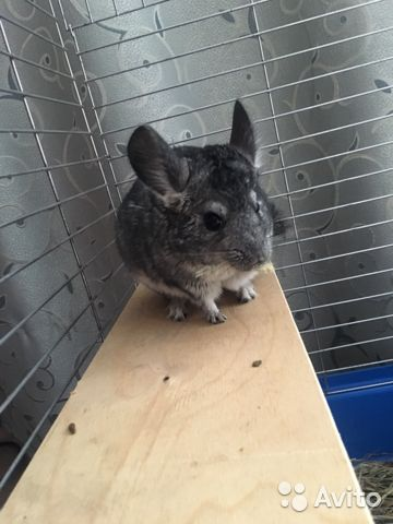 Chinchilla (with cage) 89202736904 buy 1