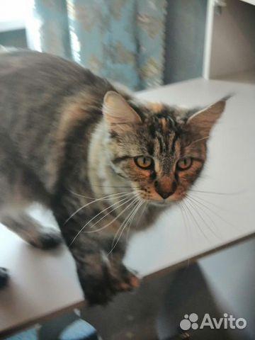 Кошка Мэйн-Кун  89102094513 купить 1