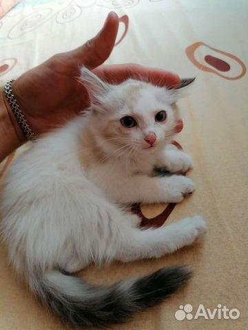 Kittens  buy 1