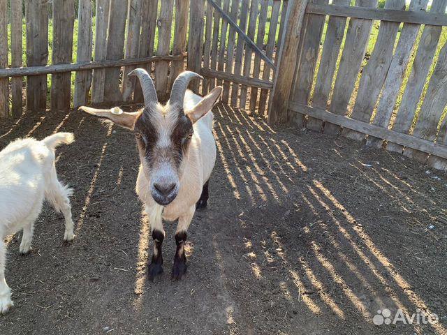 Козы,козлы  89833531001 купить 10