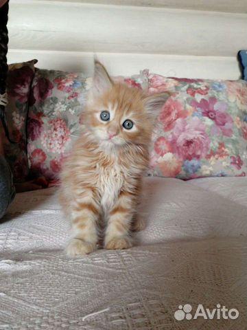 Котята мейн куны  89271841714 купить 4