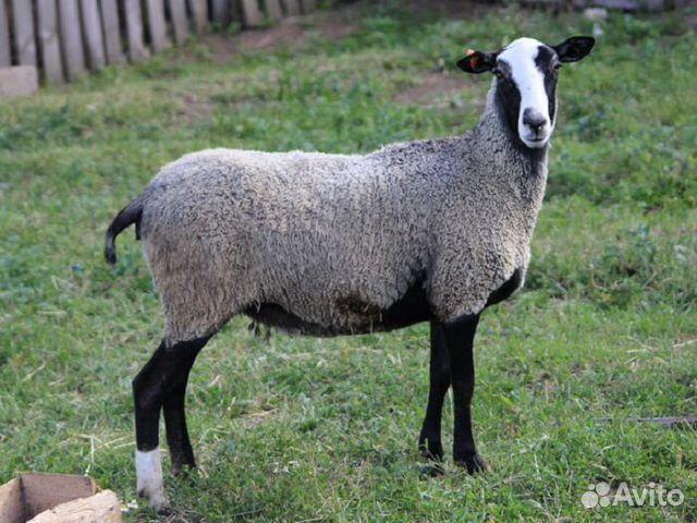 Овцы романовской породы  89188244406 купить 1