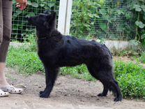 Бельгийская овчарка грюнендаль сука щенок