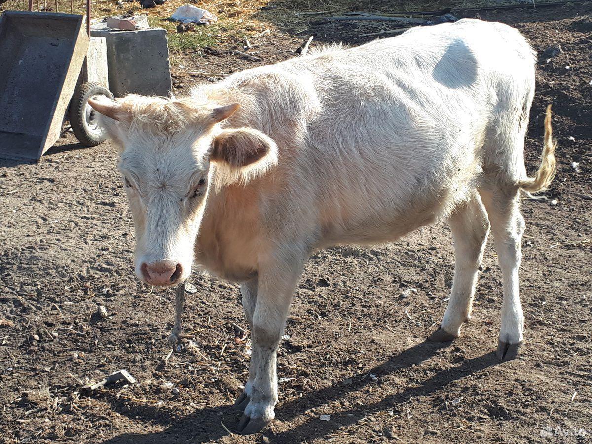 Корова  89640631560 купить 1