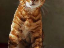 Вязка. Клубный бенгальский кот