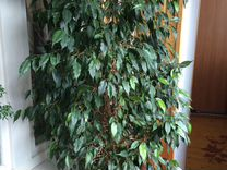 Фикус бенджамина — Растения в Рязани
