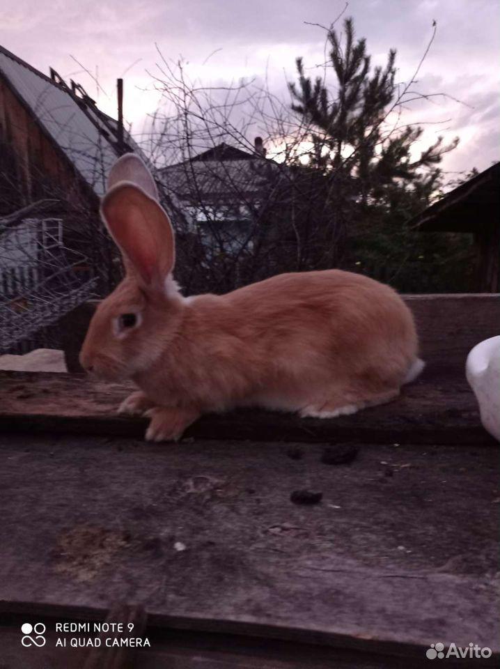 Кролик  89137405868 купить 7