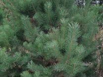 Сосна обыкновенная 150 - 200 см — Растения в Москве