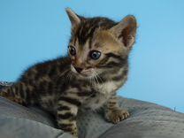 Чистокровные бенгальские котята из питомника