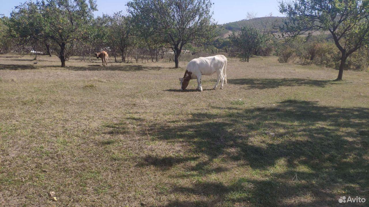 Корова телка теленок  89285255155 купить 3