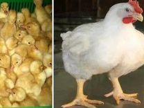 Цыплята бройлер/кобб,росс/Доставка