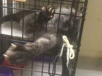 Кот Мейн-Кун 1 год