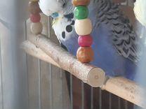 Выставочные волнистые попугаи — Птицы в Москве