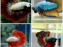 Рыбка петушок 4 вида в наличии