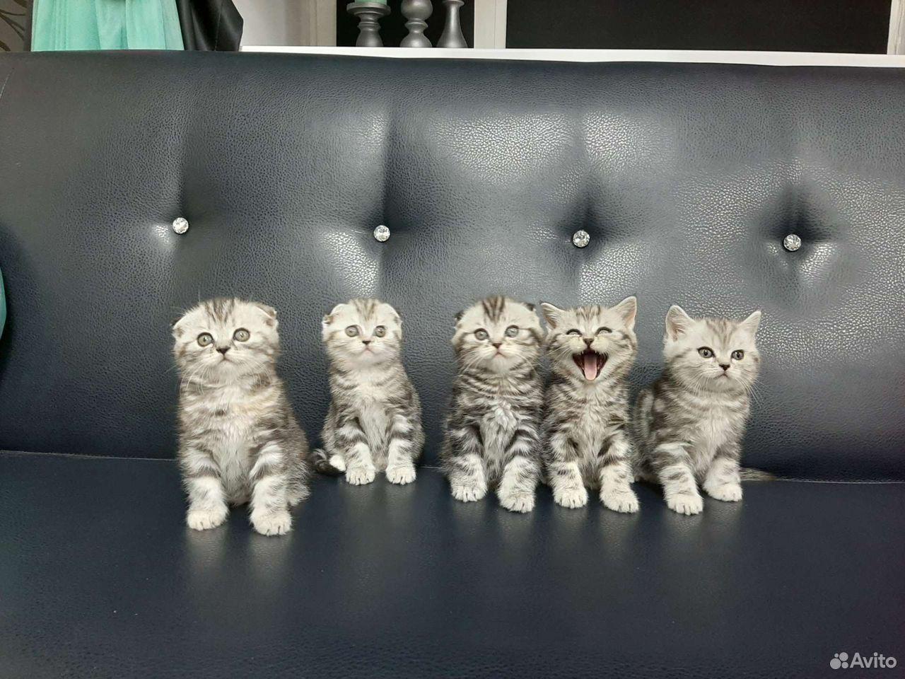 Котята британской породы  89125136404 купить 3