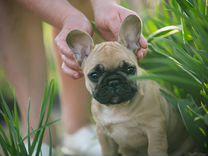 Палевый щенок