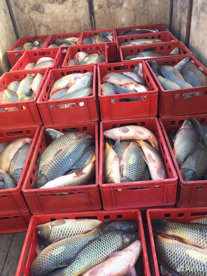 Рыба, Морской сазан  89398888010 купить 3