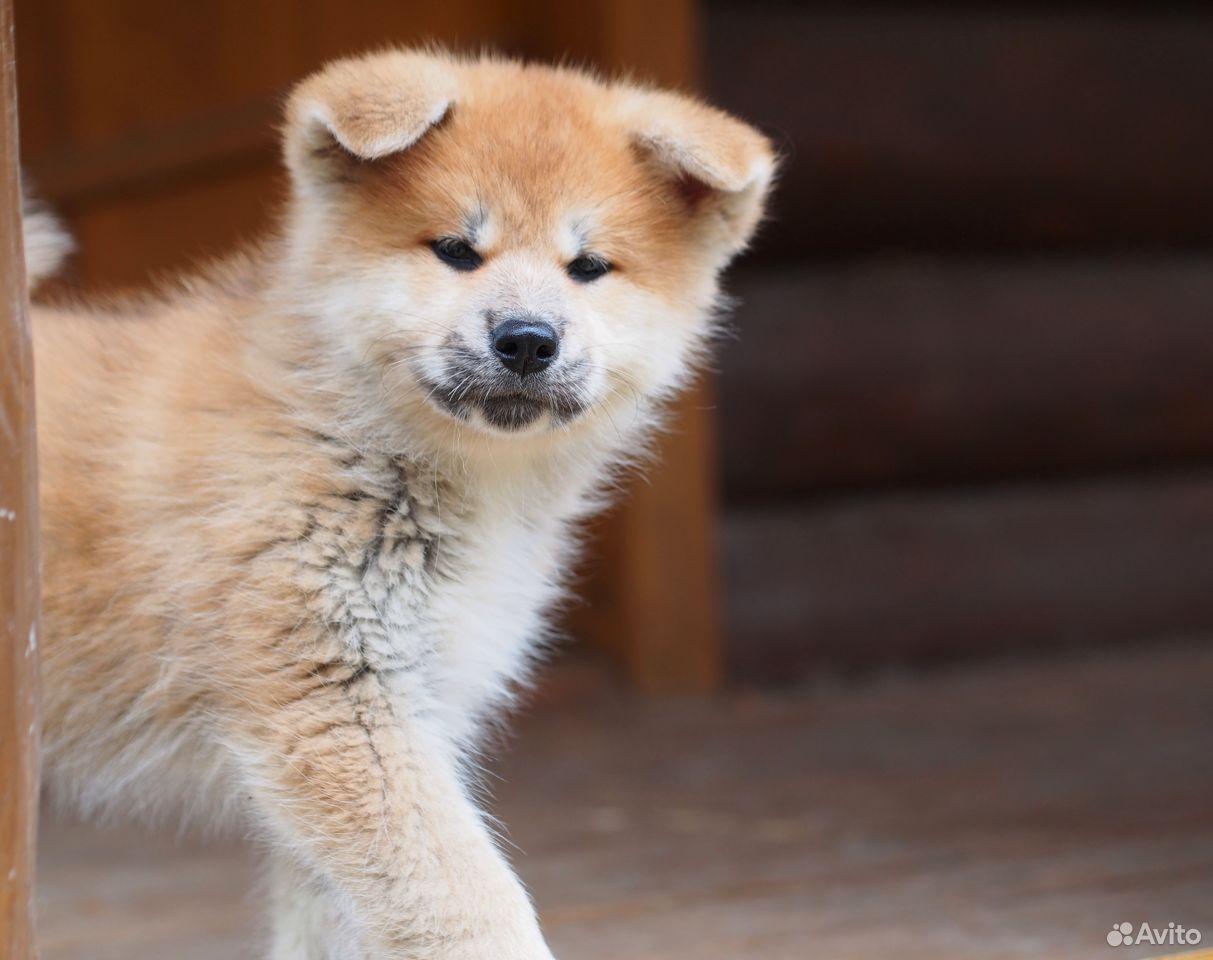 Акита ину щенки из питомника  89126335079 купить 2