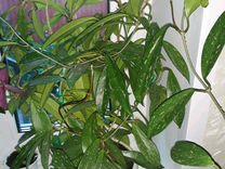Хойя Пубикаликс — Растения в Москве