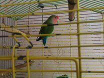 Попугай Неразлучник Мальчик