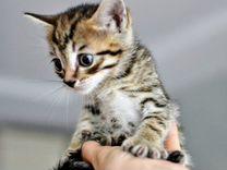 Котенок девочка 1,5 месяца